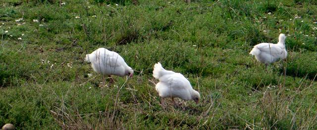 daggamle kyllinger frosne